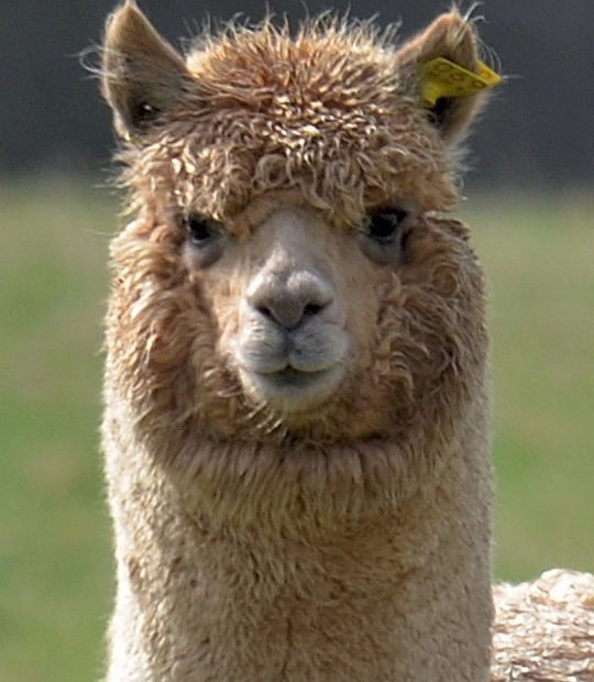 Intake Alpaca Veterinary Services